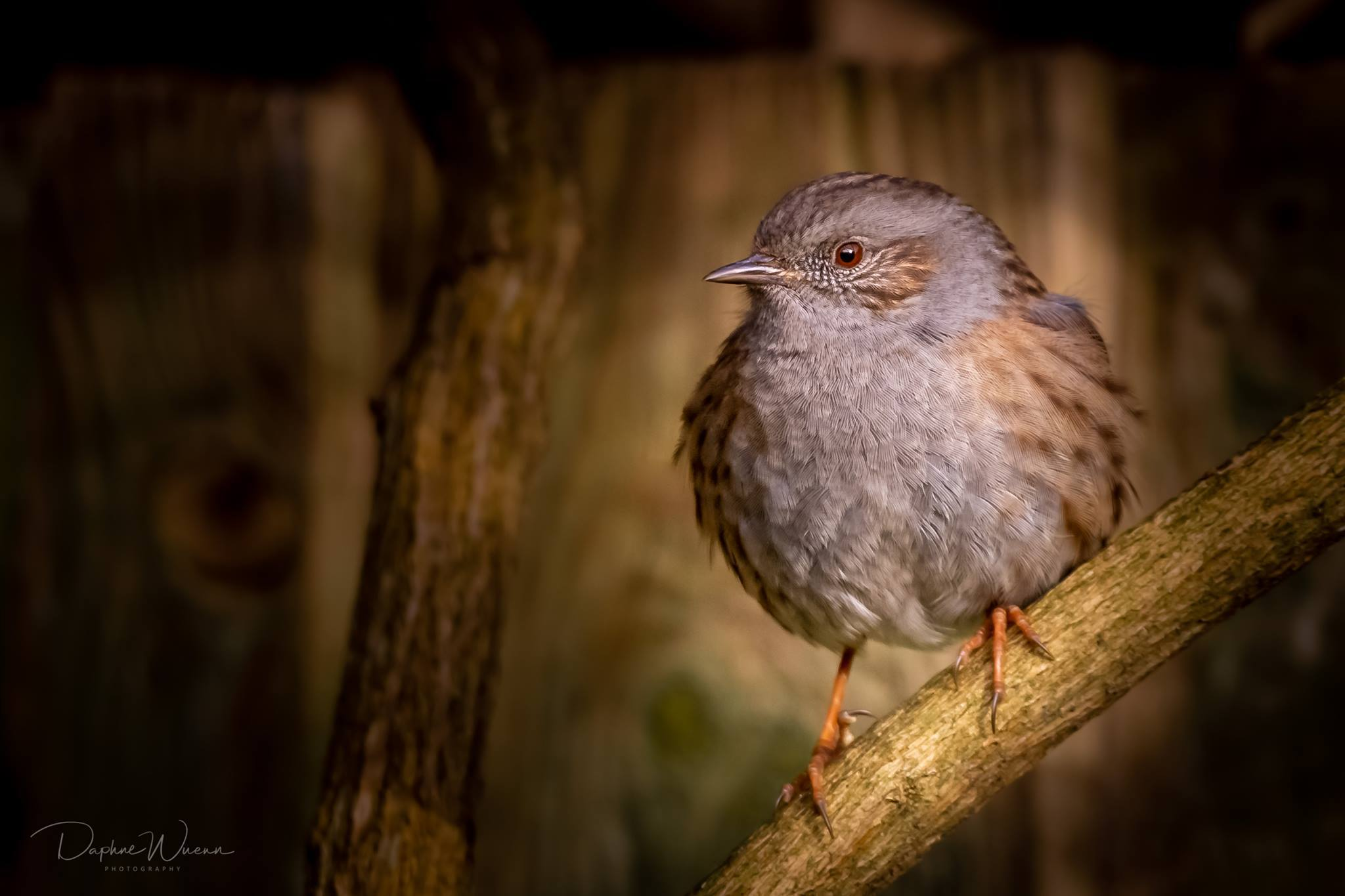 Daphne Wuenn captured this picture of a Dunnock in her back garden which she shared in the Daily Echo's Camera club group