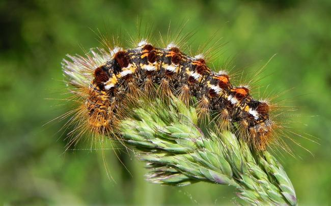 Warning After Reports Of Toxic Brown Tail Moth Caterpillars