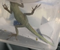 A lizard found in Dorset had travelled from Louisiana