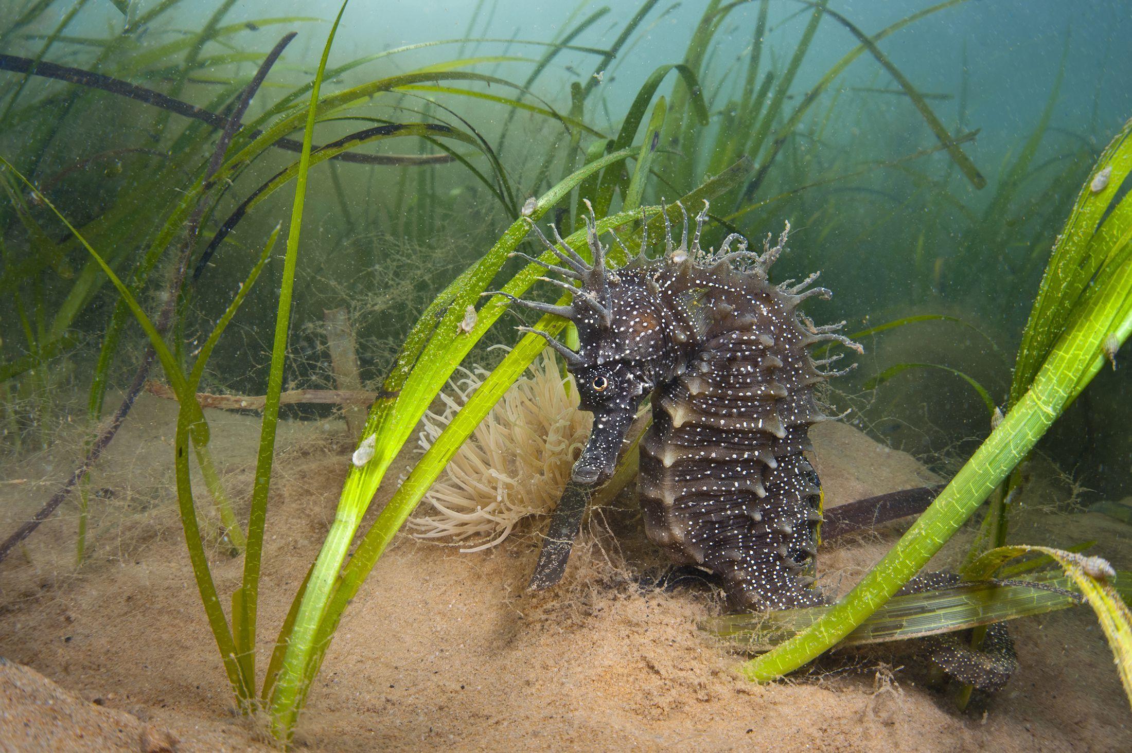 Michael Gove reveals passion for Dorset's seahorses